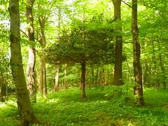 Eibe im Buchenwald (Jörg Paul Kaspari) Tags: eibe taxusbaccata im buchenwald solitär