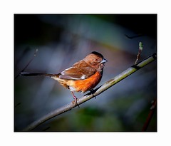 The Lady with the Ruby Eye (George McHenry Photography) Tags: brds songbirds towhee easterntowhee southcarolinabirds southcarolina