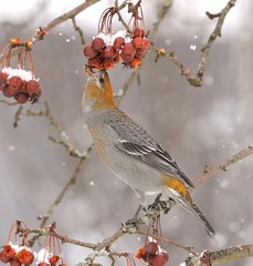Eviscerate (Slow Turning) Tags: pinicolaenucleator pinegrosbeak bird perched crabapple tree fruit feeding foraging forage eating food snowing winter southernontario canada