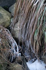 Frozen (m sohl) Tags: plants ice frost