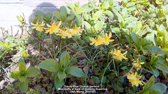 Trinity Free Church gardens - Mini-Daffs at back of building flowering  28th March 2019 001 (D@viD_2.011) Tags: trinity free church gardens minidaffs back building flowering 28th march 2019