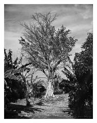 (Eugenio García.) Tags: árbol tree zeiss superikonta 530a tessar 7cm yellowfilter ilford fp4 ddx epsonv700 betterscanning
