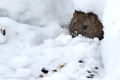 2019-01-21 17.17.46 (_MG_5802) (mikeconley) Tags: nature mouse snow winter wildlife burrow den mice middlebury vermont usa