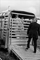 Livestock (meniscuslens) Tags: trailer people bucks county show mono monochrome bnw bw aylesbury weedon