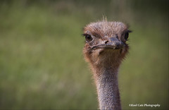 Who Are You Looking At (Kool Cats Photography over 11 Million Views) Tags: bird ostrich zoo oklahomacityzoo wildlife