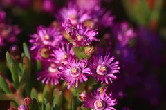 IMG_1117 Macro (Fernando Sa Rapita) Tags: mallorca sarapita canon canoneos eos1300d sigma sigma105mm sigmalens macro nature naturaleza flower flor
