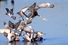 Chaos (Kaptured by Kala) Tags: rockdove rockpigeon pigeon whiterocklake dallastexas sunsetbay columbalivia log driftwood flock flying chaos feralpigeon bif birdinflight