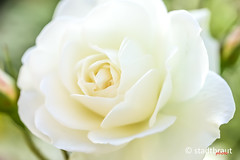 White Rose (stadtbrautphoto) Tags: whiterose gemütslage mood werte value sign abschied farewell leave saygoodbye takingleave parting liebenswert lovable likeably reallyendearing adorably charming endearing amiable likable trauerblume grief sorrow bouquet head teariness symbol sinnbild reinheit purity clarity cleanliness style unschuld liebe love weiserosen hochzeitsstraus weddingbouquet taufe romantisch romantic romantically platonischeliebe platoniclove sehnsucht longing wahregefühle yearning desire wishfulness smileonsaturday rose flower macro makro blume aroseisarose
