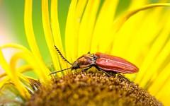 Ein Weichkäfer (Andi Fritzsch) Tags: macro macrophotography nature naturephotography insect insekten insectphotography weichkäfer käfer bug bugs flower flowers flowercolors flowerpower flowerphotography closeup closeupphotography