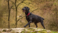 Stance (Ian Emerson (Thanks for all the comments and faves) Tags: blacklabrador labrador retriever stance focused training peakdistrict dovedale derbyshire wetdog havingfun canon6d 24105 rock outdoor pet