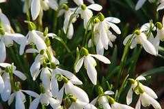 Snowdrops @ Weald (Adam Swaine) Tags: snowdrops wildflowers flora flowers england english woodland woodlandfloor petals naturelovers nature beautiful britain british kent kentweald canon counties countryside