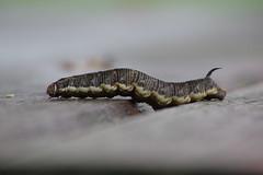 Windenschwärmer Raupe (Aah-Yeah) Tags: windenschwärmer schwärmer convolvus hawk moth agrius convolvuli nachtfalter raupe caterpillar grassau achental chiemgau bayern