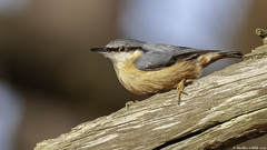 NUTTY (blackfox wildlife and nature imaging) Tags: nikon d300s nuthatch burtonmerewetlands wirral wildlife rspb sigma150600c