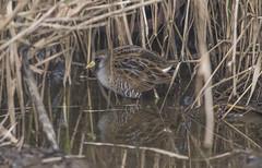 A new one for me (woodwindfarm) Tags: sora bird marsh