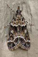 Scoparia (andredekesel) Tags: scoparia crambidae moths lepidoptera fieldstack focusstacking insect