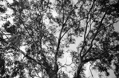 Gum tree (Matthew Paul Argall) Tags: kodakstar500af 35mmfilm ilforddelta100 100isofilm blackandwhite blackandwhitefilm tree leaves branches treebranches