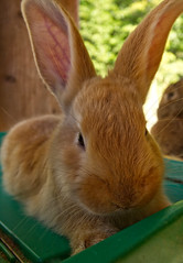 Serious Flemish Giant Baby Bunny 4 Weeks (SweetCreek) Tags: serious rabbit giant flemish background white bunny sitting nature domestic young portrait brown mammal fur fluffy tame beauty up cute one animal fawn looking baby farm pet furry closeup adorable breed