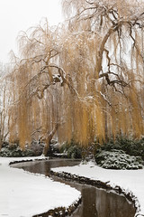 Victoria Snow Days 1 (josullivan.59) Tags: 2019 britishcolumbia canada vancouverisland victoria day detail nature outdoor outside overcast park scenic snow white willow winter weather water yellow february landscape