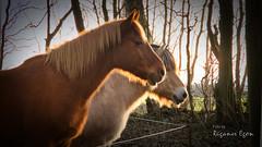 (Rüganer Egon) Tags: 2019 rugenhof samtens inselrügen mecklenburgvorpommern vorpommern pferde tiere gegenlicht rüganeregon