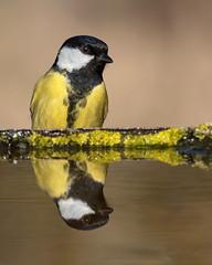 Cinciallegra (marypink) Tags: bird ordinepasseriformi famigliaparidi nikond500 cinciallegra parusmajor nikkor200500mmf56