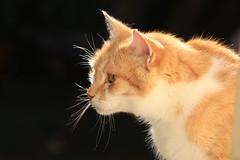 IMG_3689-fb'd (christineNZ2017) Tags: auckland newzealand furbaby furbabies cats cat feline gato animal mammal neko kattekop katt fur kitty katze katzen chat gatto kissa kot pisica moggy meow purr trooper 2019 gingerandwhite ginger red auburn sunlight morningsun