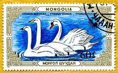 great stamp Mongolia Монгол Улс 60M  swans, Schwäne, Cygnini, Cygnus, Labudovima, Labódi, 天鹅 Zwergschwan (Cygnus bewickii), Cygnus gunus, Höckerschwan (Cygnus olor) francobolli poste timbre Mongolie 蒙古 邮票  почто́вая ма́рка Монго́лия 60M (stampolina, thx for sending stamps! :)) Tags: animals animal stamps postage porto briefmarke postetimbre timbres francobolli bollo bolli sello selo sellos briefmarken 邮票 yóupiào марка почтоваямарка revenue frimærker templite ταχυδρομικάτέλη 送料 우편요금 poštarina paštoišlaidos wysyłka frimärken маркица pečiatky ค่าไปรษณีย์ pullar poštovné bélyegek bưuchính tem frimaerke postes 切手 postapulu pulu timbresposte mongolia mongolei asien asia swans schwäne cygnini cygnus labudovima labódi 天鹅 zwergschwan cygnusbewickii cygnusgunus höckerschwan cygnusolor swan schwan cisne بجعة 天鵝 łabędź лебедь kuğu 白鳥 svane κύκνοσ svan हंस labuť labod zwaan