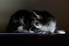 _Gera_ (t_Evgeny_o) Tags: light nice cute lights great portrait flickrunitedaward maine coon excellent