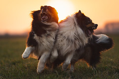 Clash of Titans (der_peste (on/off)) Tags: dogs bokeh backlight dof depthoffield power sunlight sun flare motion emotion