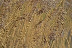 marsh grass - RSPB Exminster Marshes - Exeter, Devon - Feb 2019 (Dis da fi we) Tags: marsh grass rspb exminster marshes exeter devon