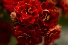 Small Beauties (Rudi Pauwels) Tags: 2019onephotoeachday flowers red beauties macro