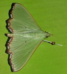 Patchy wing lace moth Parotis suralis Spilomelinae Crambidae Airlie Beach rainforest P1020108 (Steve & Alison1) Tags: patchy wing lace moth parotis suralis spilomelinae crambidae airlie beach rainforest