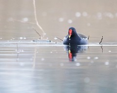 Waterhoen (d50harry123) Tags: natuur waterdruppel waterdruppels macro birdphotography waterbird wildlifephotographer nationalgeographic natgeo natuurfotografie