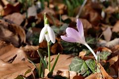 Zuneigung (Sockenhummel) Tags: glienicke krokus schneeglöckchen frühling wald waldboden laub blätter leaves spring snowdrops crocus fuji x30