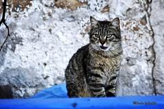 Se i gatti potessero parlare, non lo farebbero. (Nan Porter) (Mario Pellerito) Tags: canon eos 60d 18135 allaperto castellammaredelgolfo gatti gatto italia italie italy mariopellerito natura nature pov sicilia sicilie sicily sizilien
