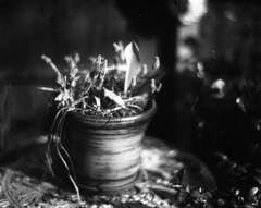Grape Hyacinths 1 (Vidwatts) Tags: aeroektar speedgraphic fomapan100 d76