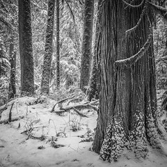 Last Day of Winter (writing with light 2422 (Not Pro)) Tags: winter washingtonstate mountrainiernationalpark mrnp carbonriverentrance forest firtrees douglasfirs cedar sonya7 sonya7riii snow bw monochrome blackandwhite