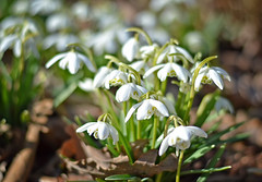 A little angels heralding spring... 💓 (L.Lahtinen (nature photography)) Tags: finland spring snowdrops springflower nikond3200 nikkor50mm nature naturephotography flora luonto lumikellot flowers kukat kevät kevätkukat bokeh beauty soft springtime