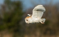 Barn Owl (toothandclaw1) Tags: barn owl raptor countryside early morning
