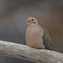 Mourning Dove-49154.jpg (Mully410 * Images) Tags: bird birds birding backyard mourningdove dove birder birdwatching