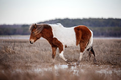 Cruising the Salt Marsh or Assateague... (DTT67) Tags: horse wildhorse assateagueisland 5dmkiv canon5dmkiv canon oceancitymd maryland animal mammal wild nature wildlife