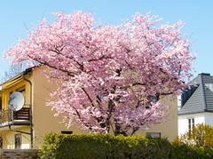 Spring in Munich Trudering (Wolkenkratzer) Tags: munich münchen trudering feldbergstrase wasserburgerlandstrase tree spring