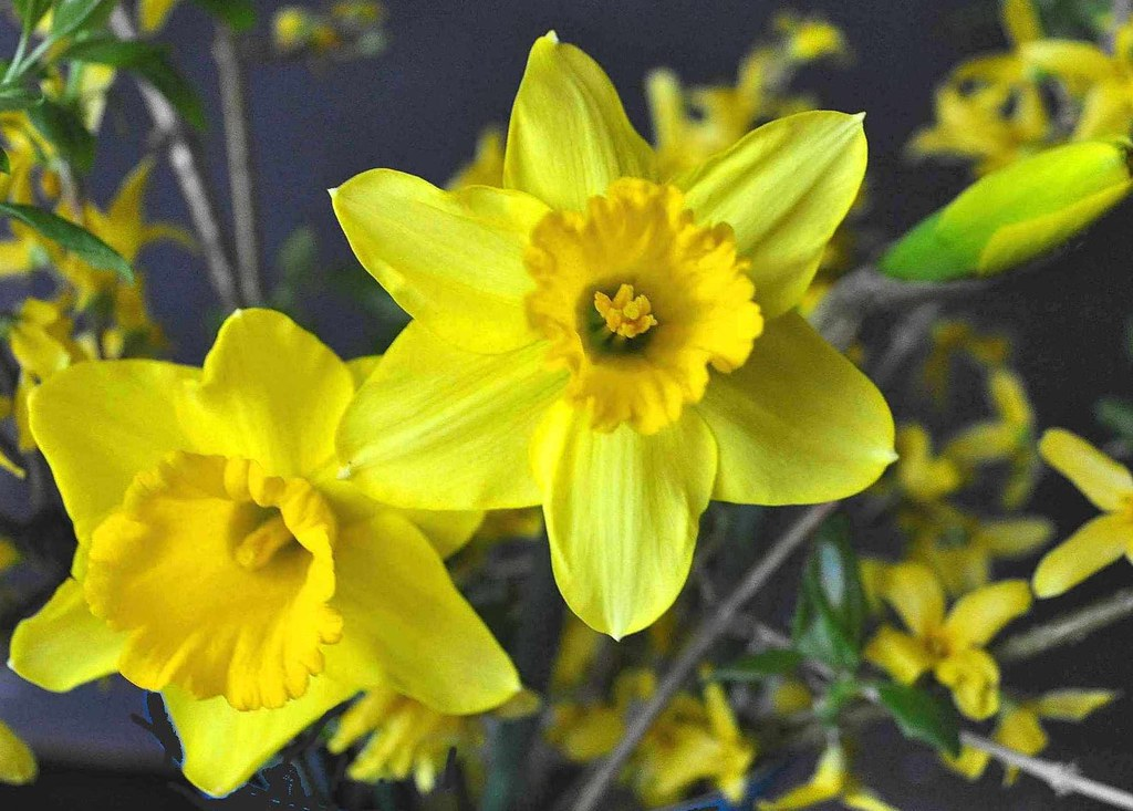 Fiori Narcisi.The World S Best Photos Of Fiori And Narcisi Flickr Hive Mind