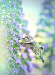 Huntington Beach Central Park 3.24.17 1 (Marcie Gonzalez) Tags: 2017 hummingbird hummingbirds hummer hummers fly fast wing midair mid air sunlight soft bird birds purple stem flower flowers branch branches nature wildlife huntington beach central park parks garden gardens california socal southern so cal ca calif usa america orange county pretty sweet humming wings small beautiful north animal marcie gonzalez marciegonzalez marciegonzalezphotography photography canon united states huntingtoncentrapark huntingtoncentralpark