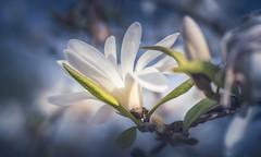 White Magnolia (Dhina A) Tags: sony a7rii ilce7rm2 a7r2 a7r white magnolia flower bokeh lensbaby velvet 56 56mm f16 macro lensbabyvelvet5656mmf16 portrait art lens 4elements 3groups blur manualfocus