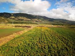 aerial sunflower field (Aaron Lynton) Tags: sunflowers sunflower sunflowerfield maui hawaii paradise flowers yellow blue sustainability biodiesel drone dji aerial aerialpanorama mauihawaii mauidrone mauiaerial mauisunflowerfield mauisunflowers hawaiisunflowers mauisunflowerdrone