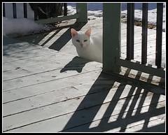 White & Shadows (bigbrowneyez) Tags: cat whitecat animal snow deck lines shadows light luce gatta animale visitor mygarden railings spring primavera winter fun april ottawa canada furry bianca wood whiteshadows outdoors silly happyhumpday humpday windy