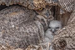 New Born (Ephrata PA) 4/10/19 (Kevin E Fox) Tags: greathornedowl owl owlet family bird birdwatching birding birds birdofprey birdphotography sigma150600sport sigma nature nikond500 nikon ephrata pa pennsylvania