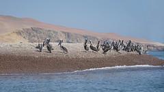 Pelicans place (explore) (Chemose) Tags: ocean océan pacifique pacific eau water pélican pelican boat côte coast pérou peru avril april sony ilce7m2 alpha7ii