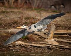 Making the Turn (droy0521) Tags: wildlife colorado greatblueheron outdoors birdsinflight places