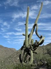 Verzwickte Abzweigung / Knotty Branch-Off (bartholmy) Tags: arizona az kaktus cactus saguaro wüste desert foundsculpture sculpturetrouvée carnegieagigantea